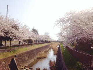 桜が綺麗ですね。